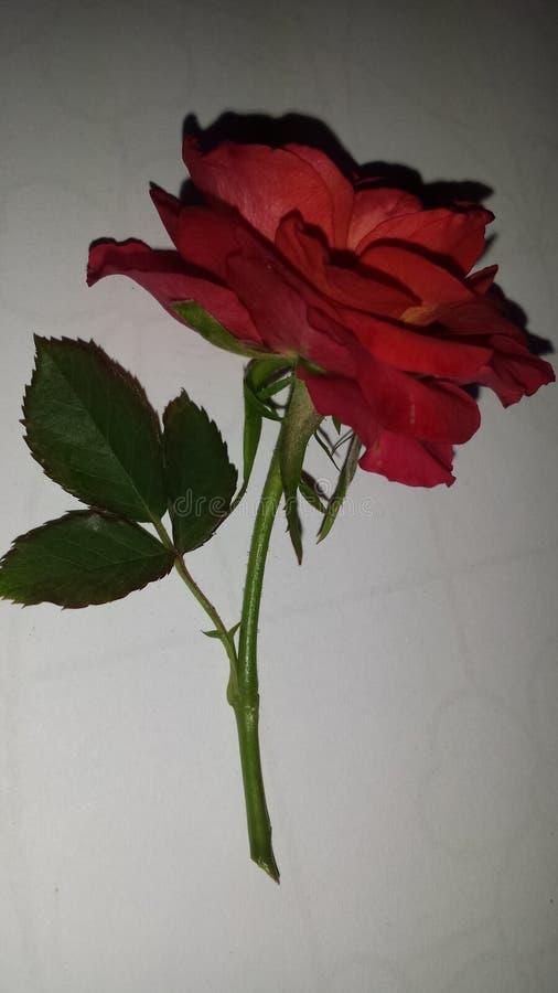 Цветок красной розы свежий выбранный стоковая фотография rf
