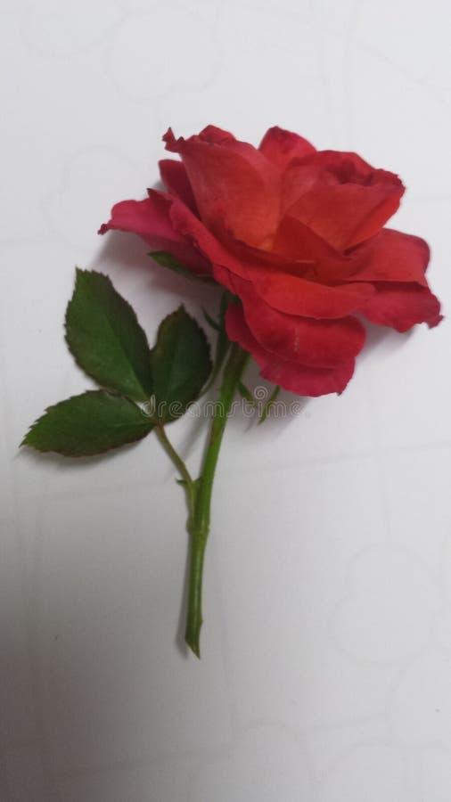 Цветок красной розы свежий выбранный стоковое изображение