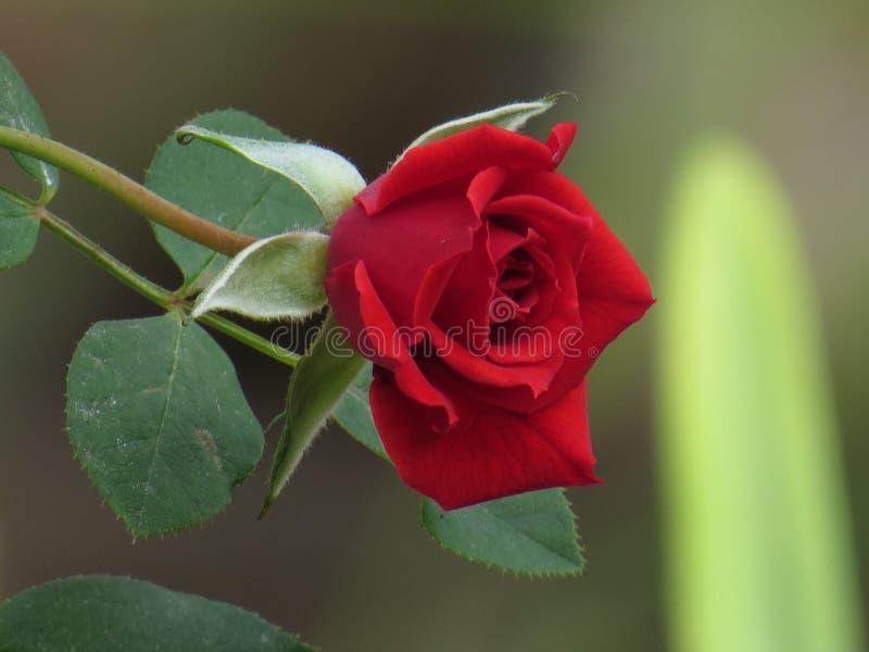 Цветок красной розы с зелеными листьями стоковые фото