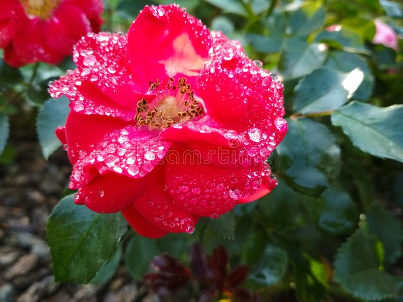 Цветок красной розы с падениями воды на предпосылке зеленой травы Свежий влажный розовый красный сад поднял Изумительная красная  стоковые фото