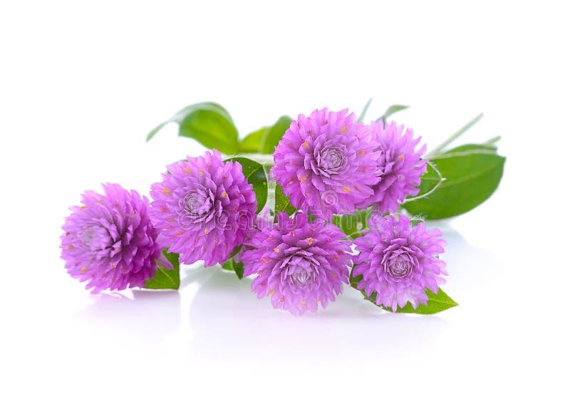 Цветок красоты амаранта глобуса стоковые фото