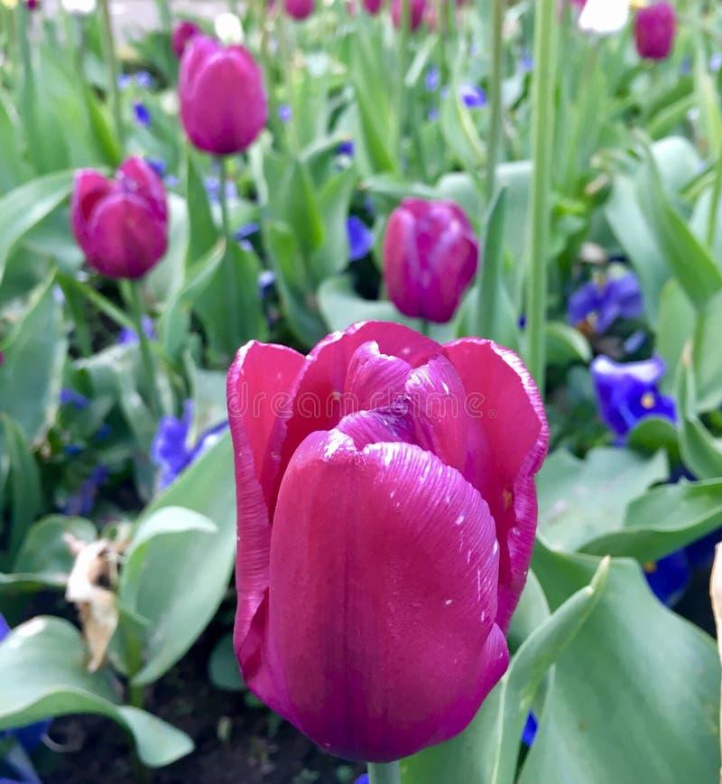 Цветок красоты розовый в саде стоковая фотография rf
