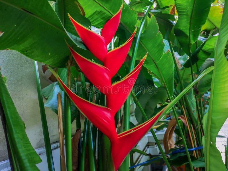 Цветок красочного карлика ямайский или цветок райской птицы в предпосылке природы стоковое изображение