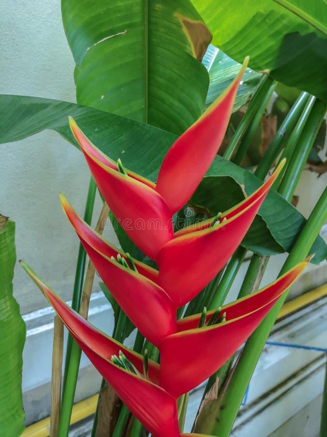 Цветок красочного карлика ямайский или цветок райской птицы в предпосылке природы стоковая фотография