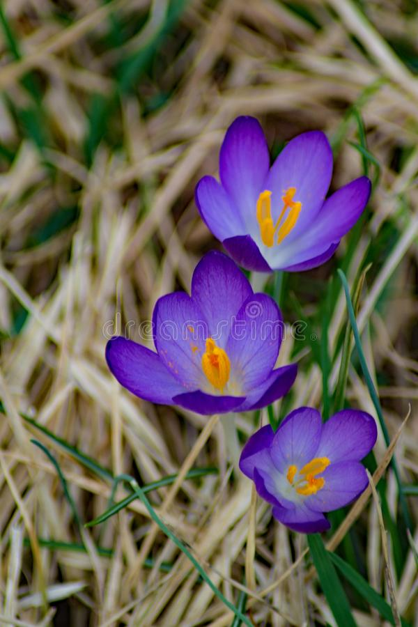 Цветок крокуса первый весны - группы в составе 3 стоковые фотографии rf