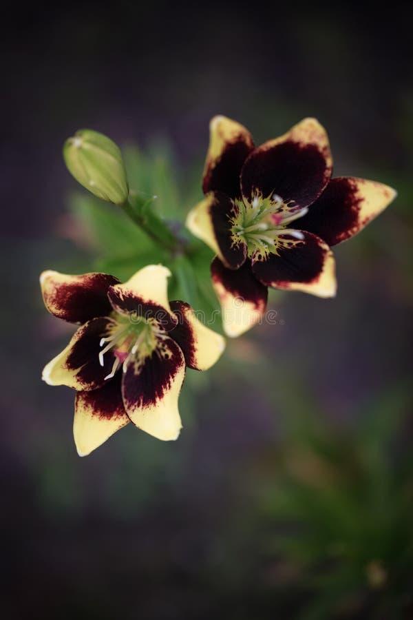 Цветок крупного плана фиолетов-желтый lilly в саде Селективный фокус стоковые фото