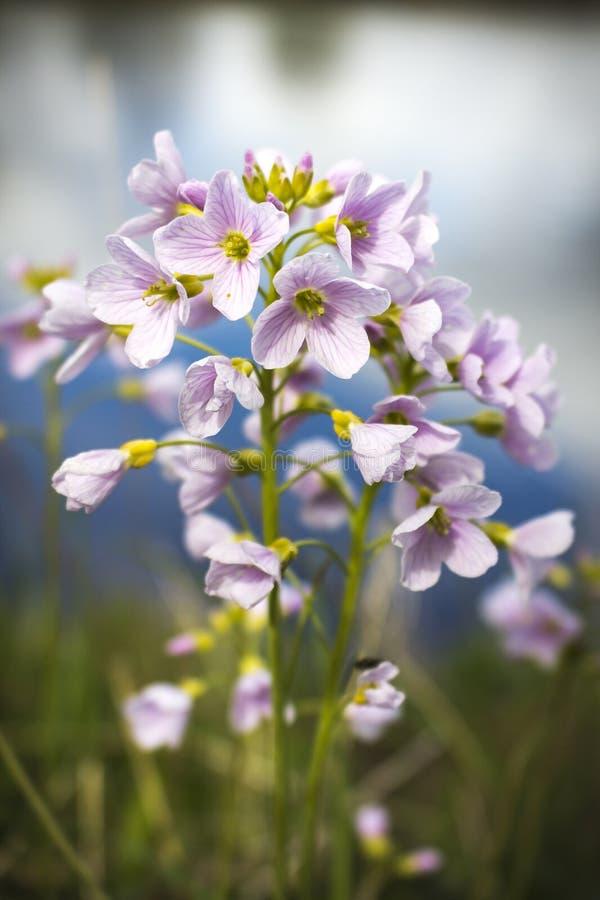 Цветок кукушки рекой MCU стоковые фотографии rf