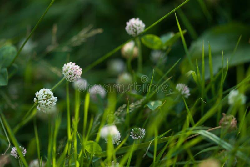 Цветок клевера в траве стоковые фотографии rf