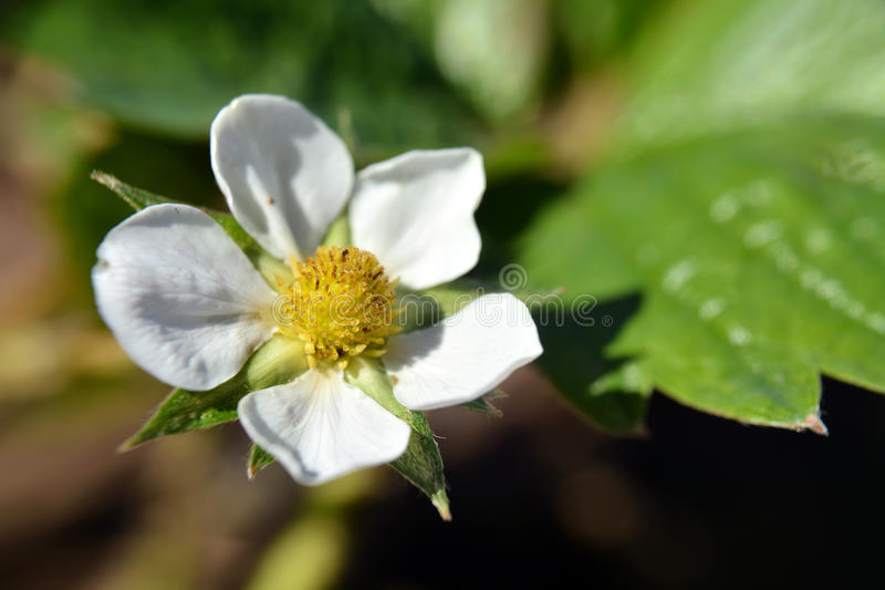 Цветок; клубника стоковые фото
