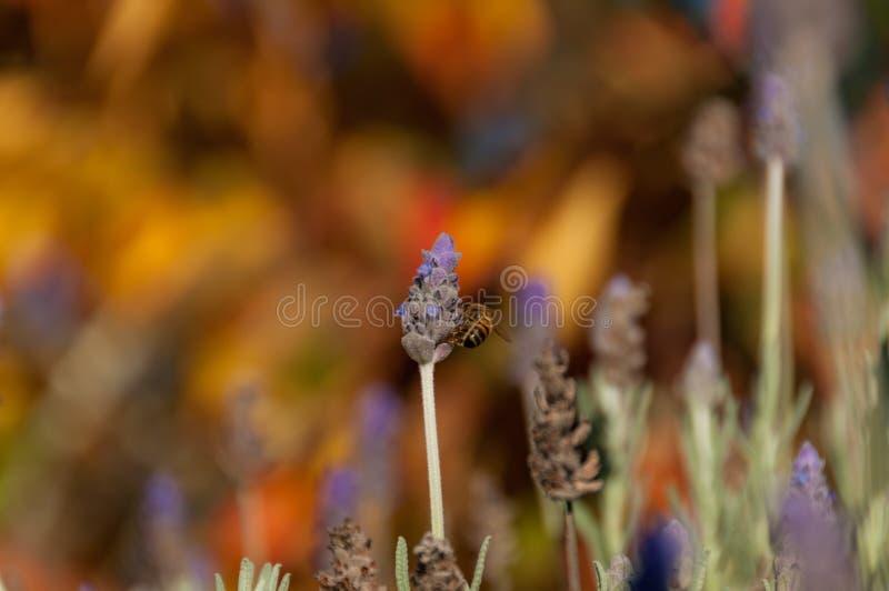 Цветок лаванды пчелы опыляя Предпосылка природы опыления лета стоковая фотография