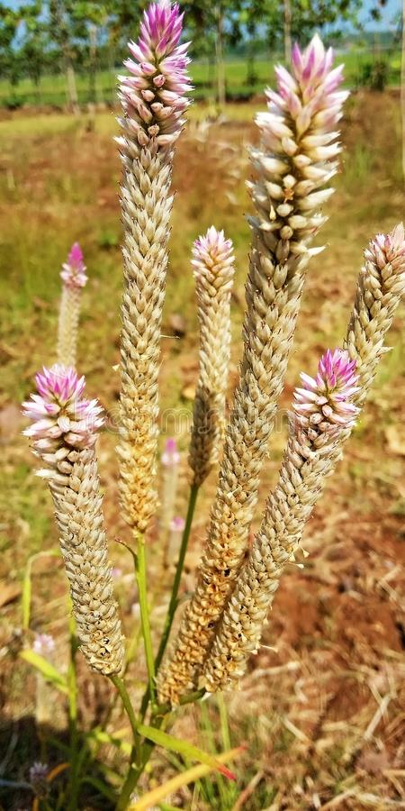 Цветок лаванды стоковое фото rf
