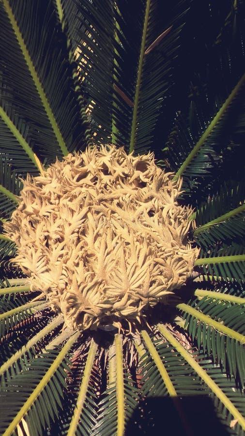 Цветок ладони короля саго стоковое фото