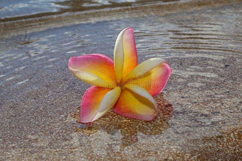 Цветок лежит в воде стоковые изображения