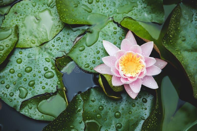 Цветок лилии воды на поверхности озера среди зеленых листьев Зацветая предпосылка лотоса E r стоковая фотография
