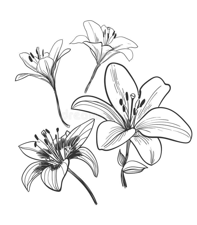 Цветок лилии завода элементов дизайна иллюстрации эскиза вектора иллюстрация вектора