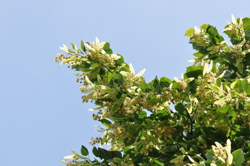 Цветок липы на дереве стоковые фото