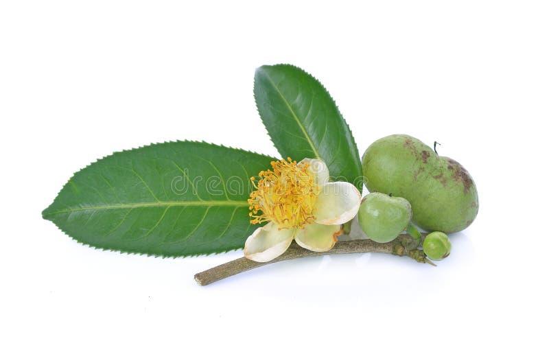 Цветок, лист зеленого чая, семя чая на белой предпосылке стоковое изображение