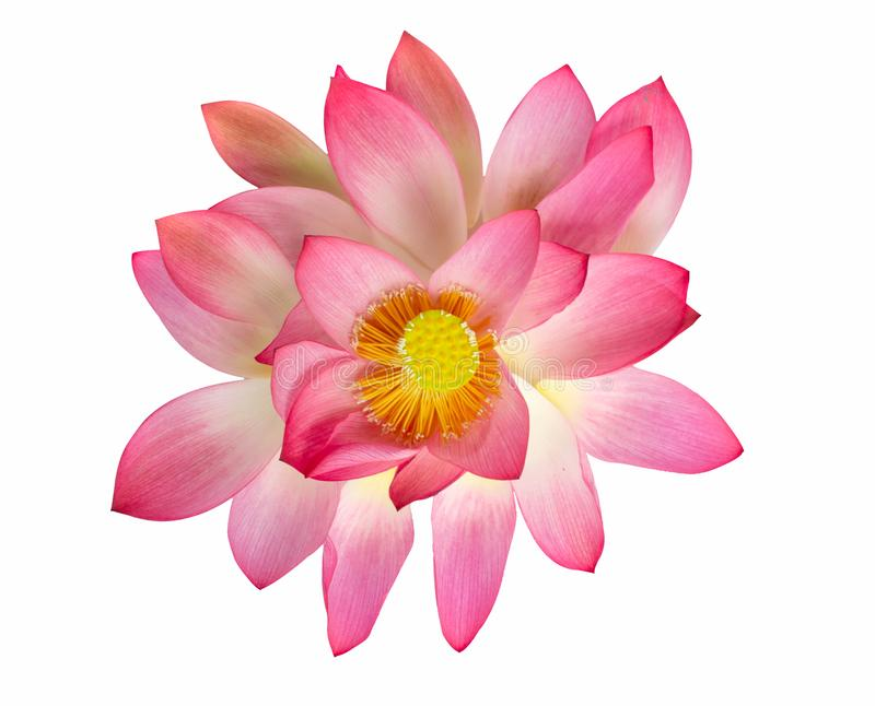 Цветок лотоса взгляд сверху красивый розовый изолированный на белом backgroun стоковые изображения