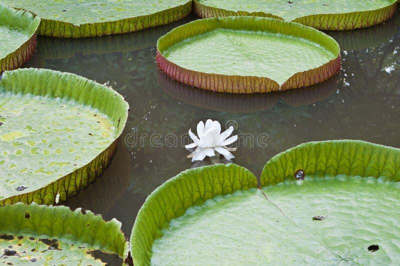 Цветок лотоса Виктория в озере стоковая фотография