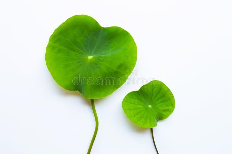 Цветок лотоса выходит на белое стоковое фото