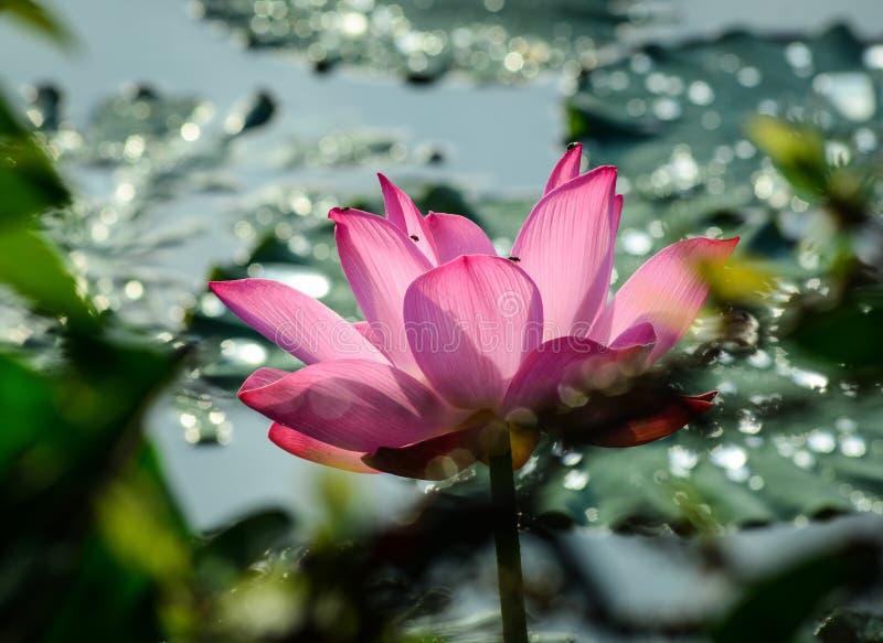 Цветок лотоса зацветая на лете стоковые изображения rf