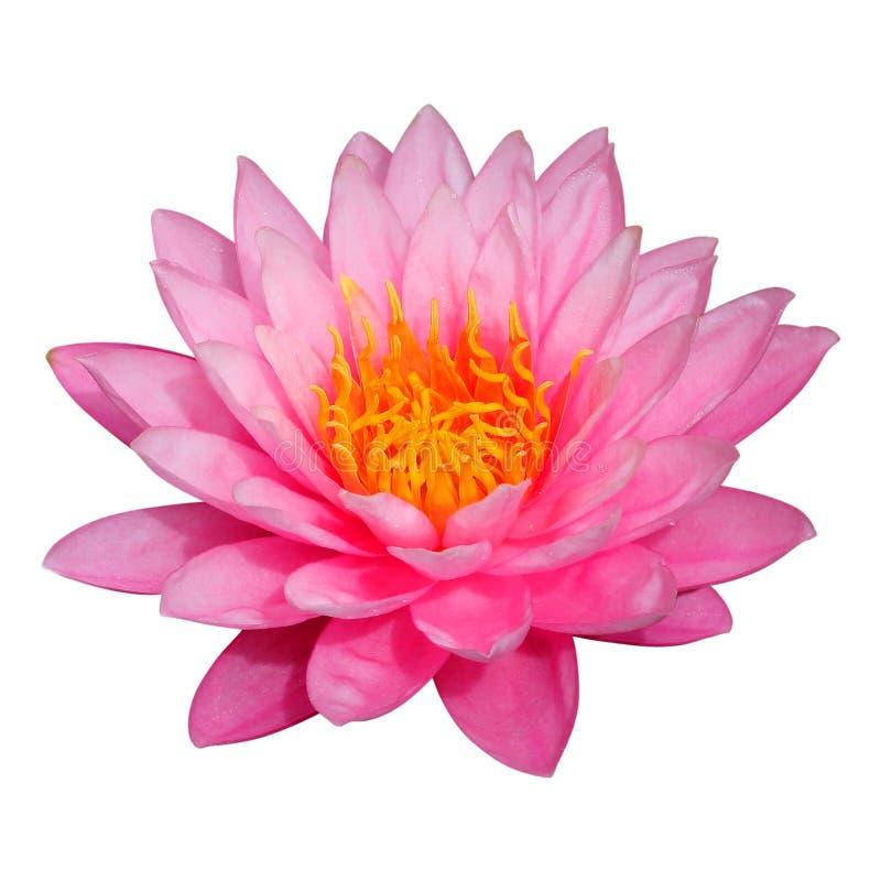 Цветок лотоса изолированный на белой предпосылке стоковые изображения rf