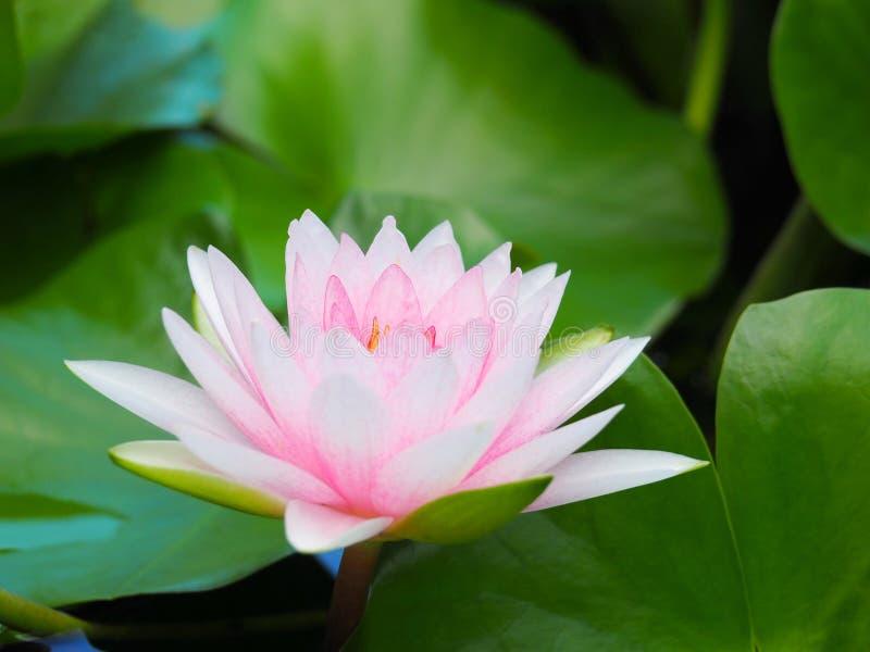 Цветок лотоса или лилия воды белая и розовая с зелеными листьями Красиво зацветающ в бассейне курорта для того чтобы украсить стоковые фотографии rf