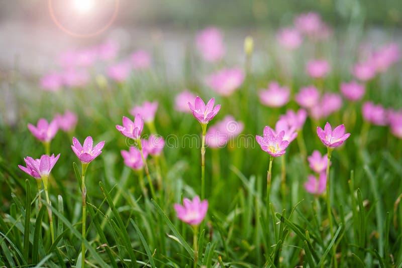 Цветок лотоса Лилия дождя Zephyranthes род воздержательных и тропических заводов в семье амарулиса, subfamily стоковое изображение