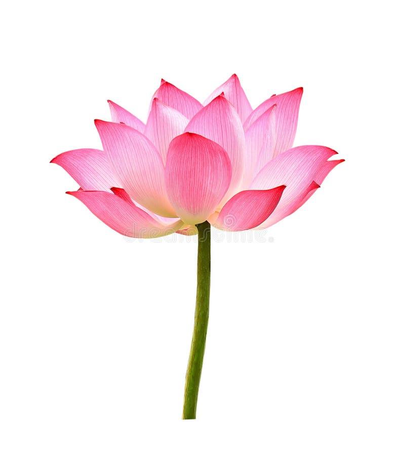 Цветок лотоса на белой предпосылке стоковые фотографии rf