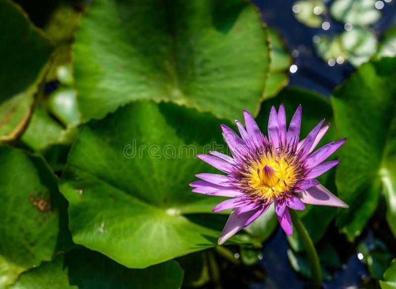 Цветок лотоса с солнечным светом в утре стоковая фотография rf