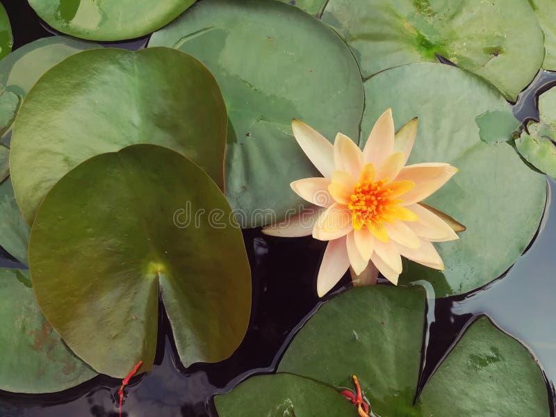 Цветок лотоса, цветене флористическое, пруд лотоса стоковые фотографии rf