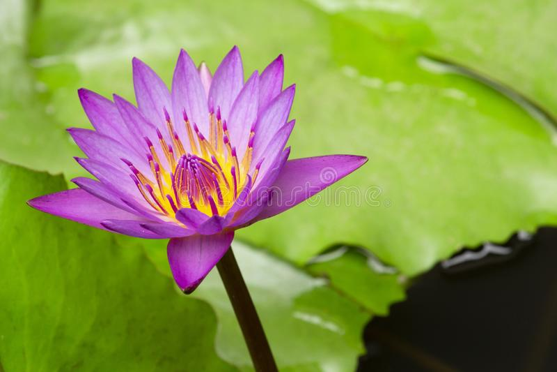 Цветок лотоса lilly пурпурный на воде выборочный фокус на предпосылке нерезкости стоковые фотографии rf