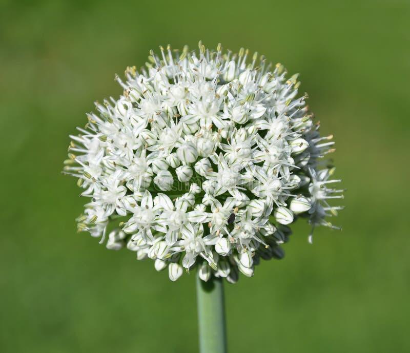 Цветок лука перед зеленой предпосылкой стоковые фото