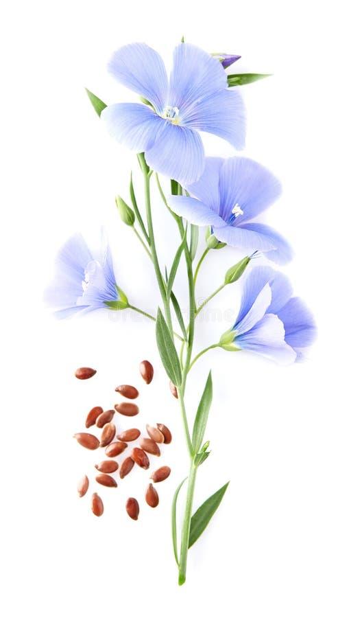 Цветок льна с семенами стоковая фотография
