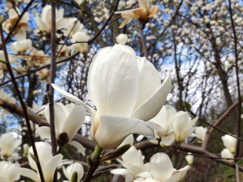 Цветок магнолии белый стоковое изображение