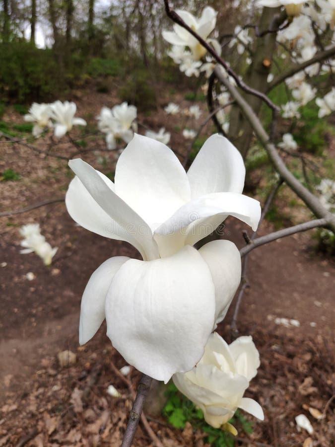 Цветок магнолии белый стоковые изображения rf