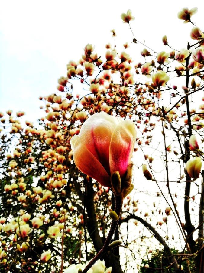 Цветок магнолии в фокусе стоковое фото