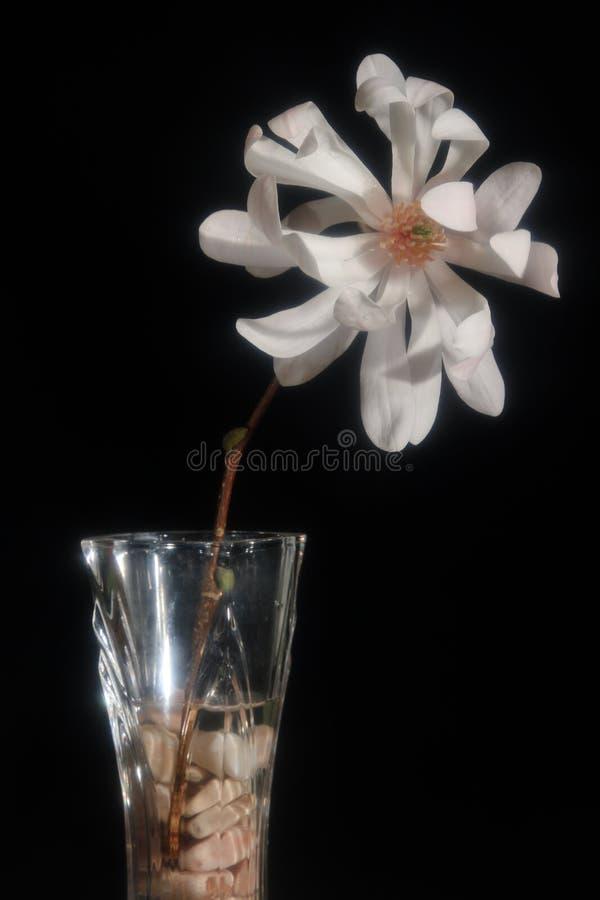 Цветок магнолии мягкого фокуса белый на черной предпосылке стоковое фото rf