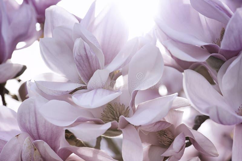 Цветок магнолии стоковое изображение rf