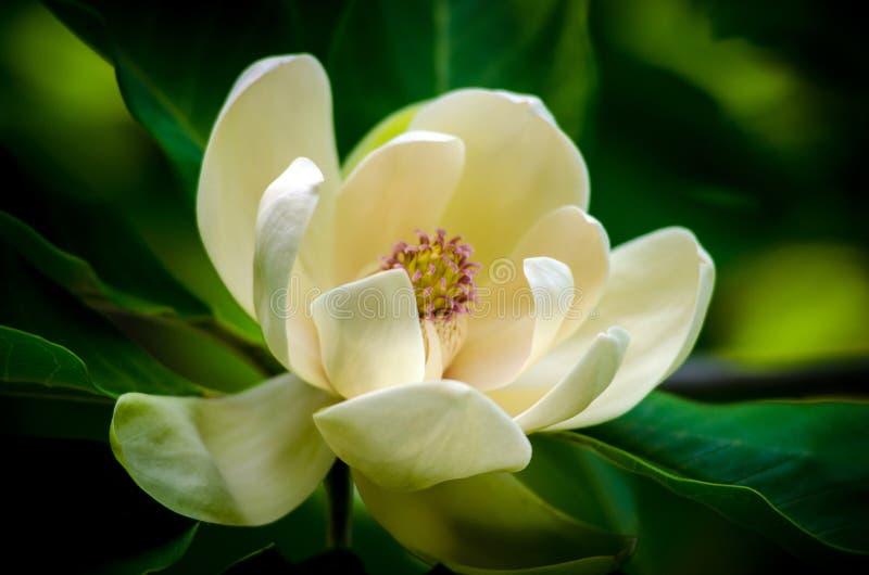 Цветок магнолии стоковое фото rf