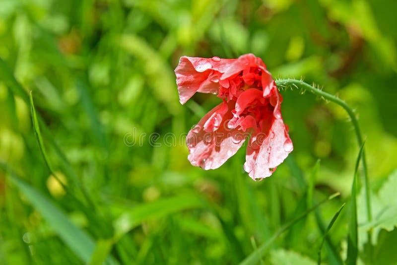 Цветок мака после дождя стоковые фотографии rf