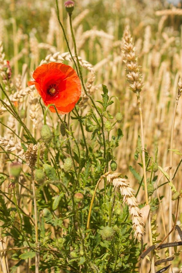 Цветок мака среди ушей пшеницы стоковые изображения