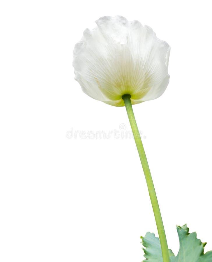 Цветок мака, также знает как завод опиума стоковые изображения rf