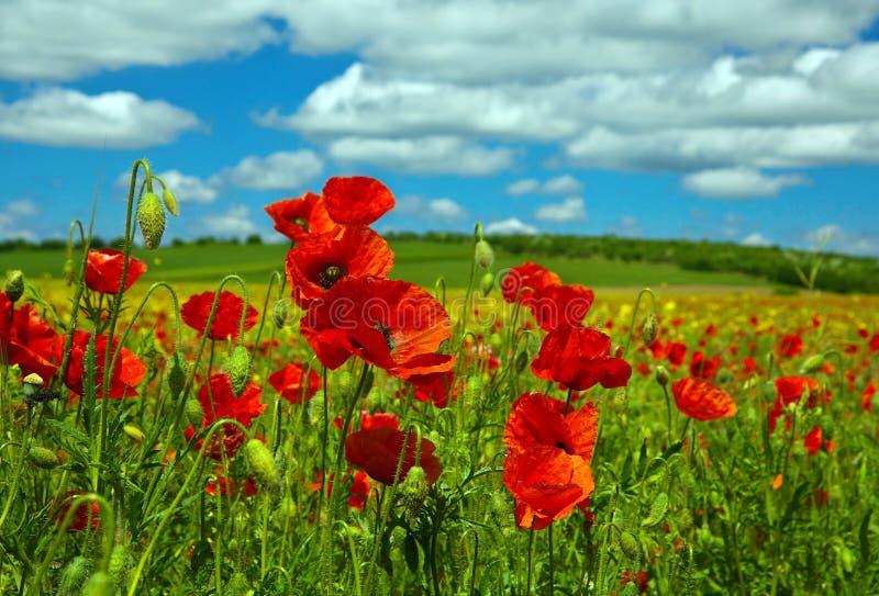 Цветок мака стоковое фото rf