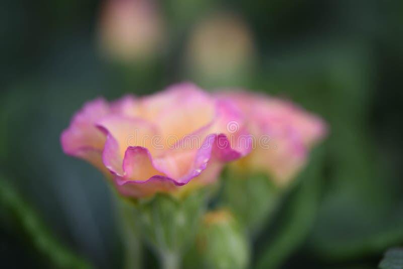Цветок макроса весеннего времени с розовыми и желтыми красивыми лепестками первоцвета стоковая фотография