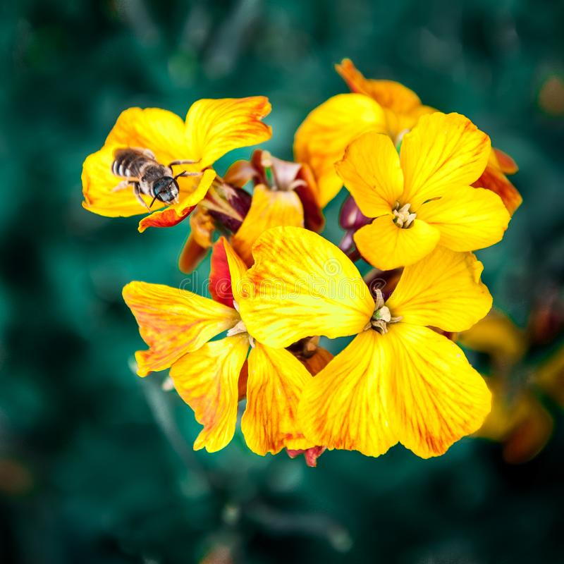 Цветок и пчела макроса стоковые фотографии rf