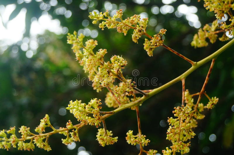 Цветок манго стоковые фотографии rf