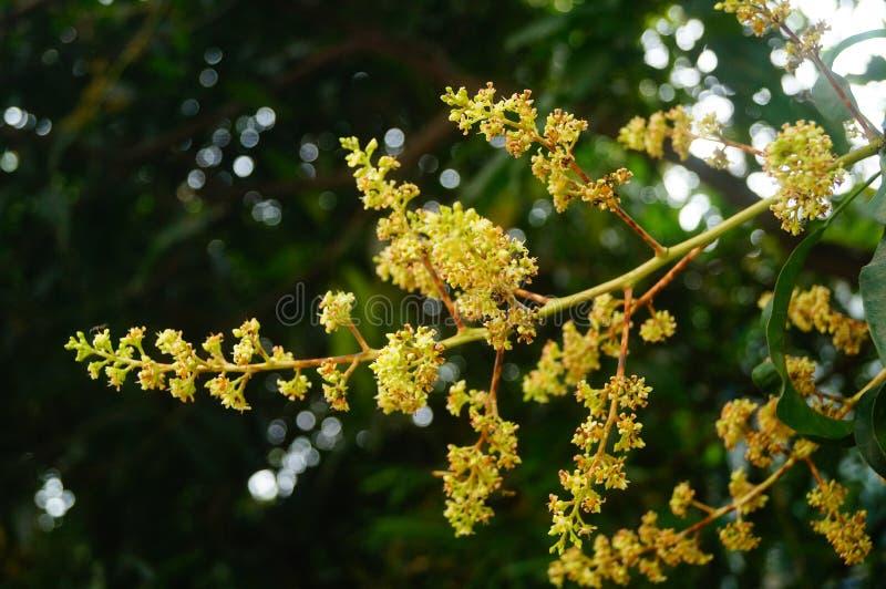 Цветок манго стоковая фотография rf