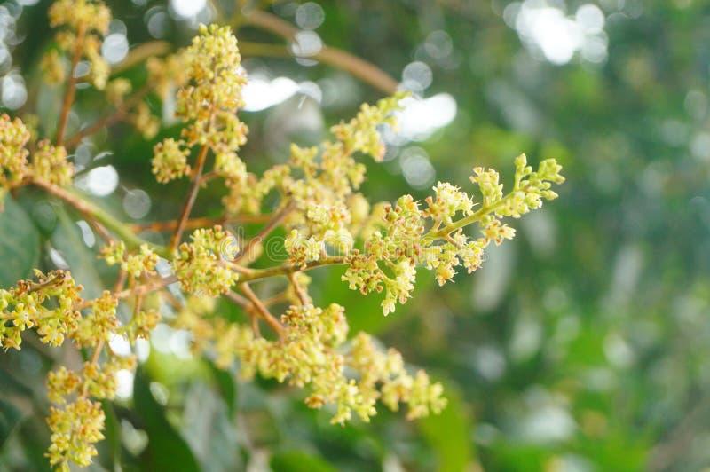 Цветок манго стоковое фото rf