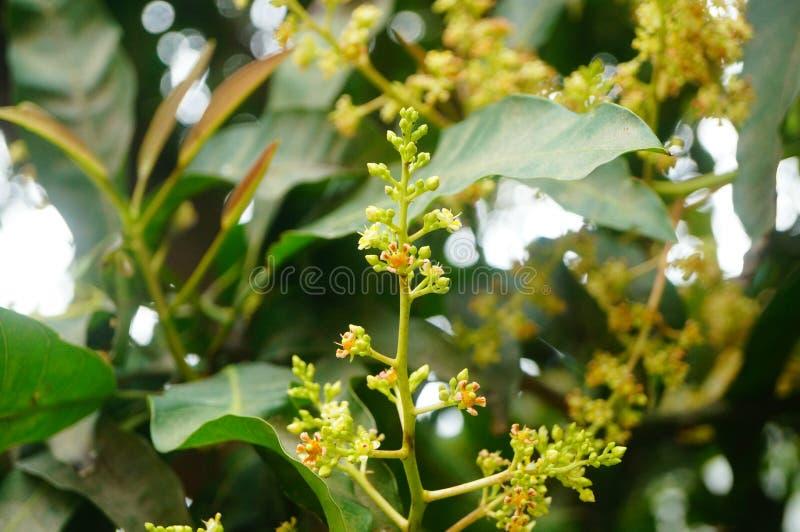 Цветок манго стоковые изображения